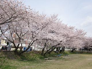 桜のトンネルみたいですね。