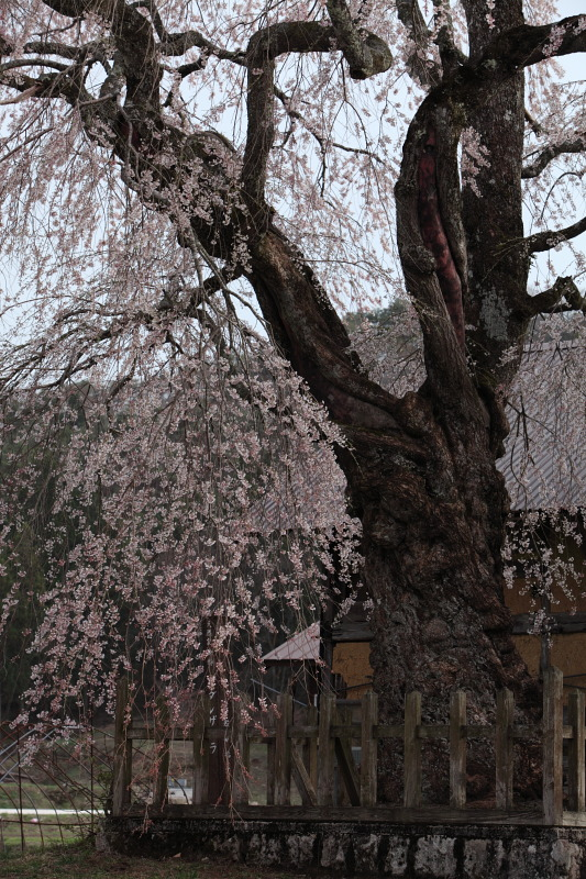 地久院のしだれ桜