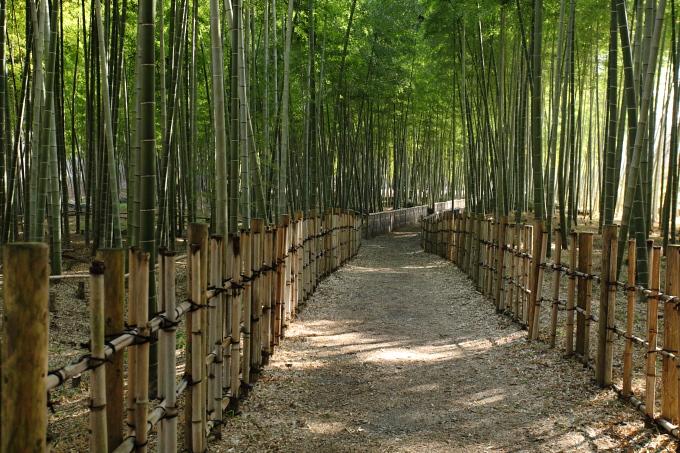 錦川の竹林