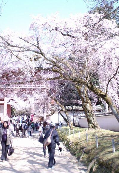 110405_1455~関西の桜_4