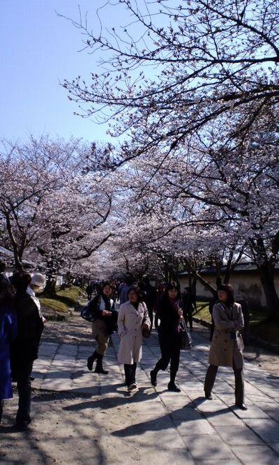 110405_1450~関西の桜_1
