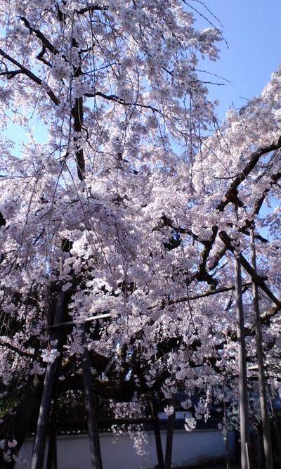 110405_1524~関西の桜_7