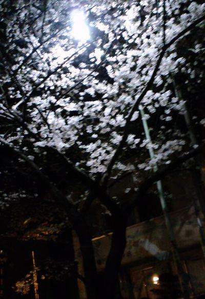 110405_2329~帰京して見た夜桜