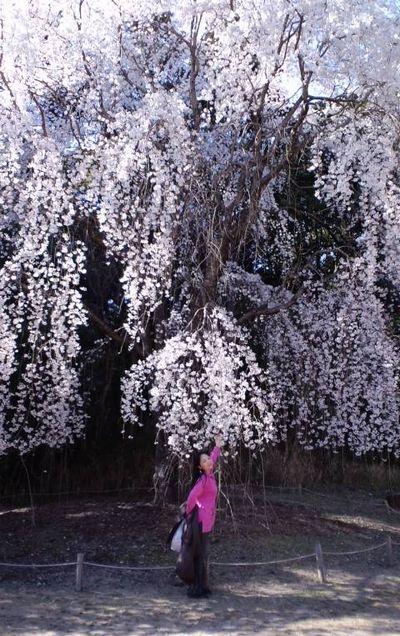 110405_1516~関西の桜_6