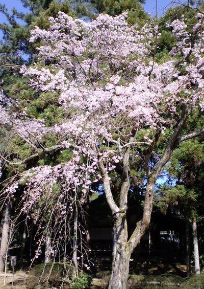 110405_1510~関西の桜_5