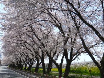 2011.4.12桜
