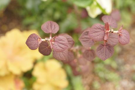 銅葉のカツラ、新芽が綺麗です♪