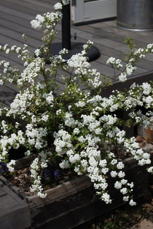 満開の八重咲きコデマリ