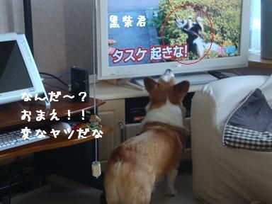 テレビを見る紋兄