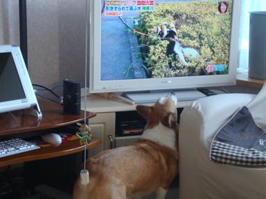 テレビを見る紋兄2