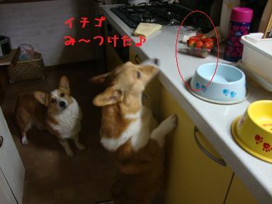 キッチンでコーギーズ