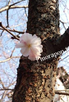 110329都心で桜開花