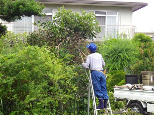 植木の剪定1