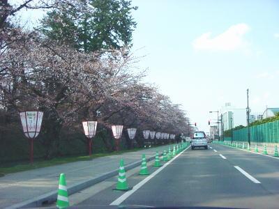 2011-4-26-sakura.jpg