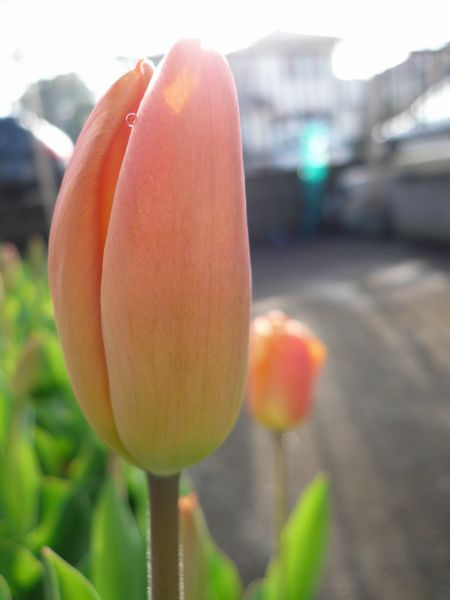 tulipa03