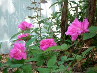 rose_110531_01_250
