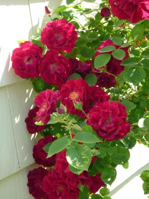rose_110531_02_250