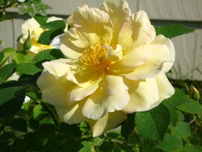 rose_110531_03_300