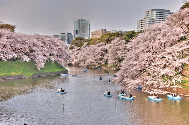 千鳥ヶ渕桜