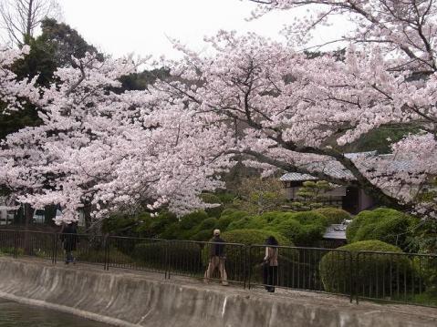 20120415京都桜ラン0252