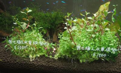 寄せ植え水草(大)