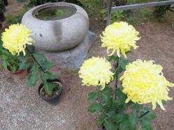 菊20111103