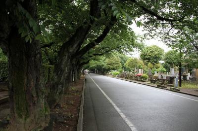谷中霊園 桜並木