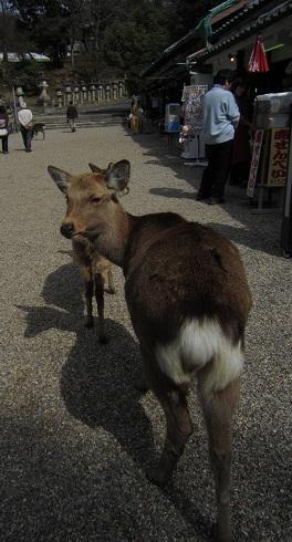 鹿『こっちやで』