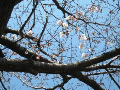 桜サク01