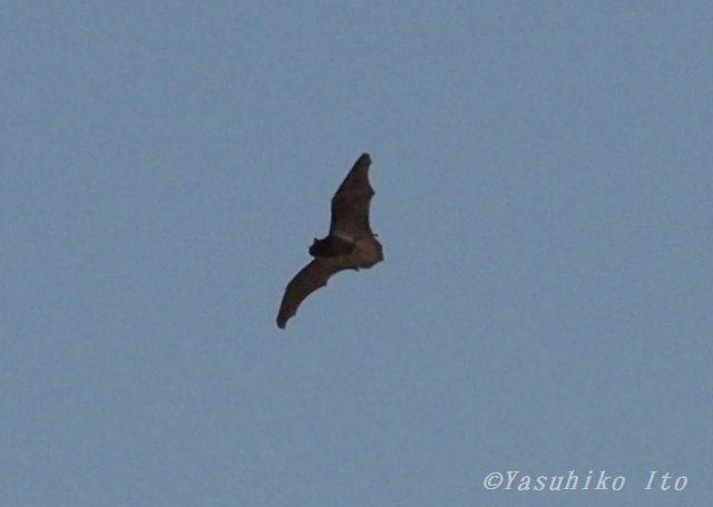 昼間飛ぶコウモリ