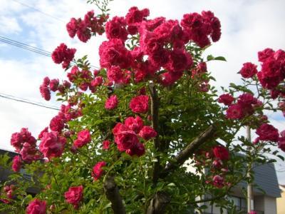 ピンクのツルバラ (2)
