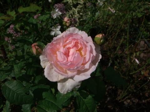 シャリファアスマ 二番花