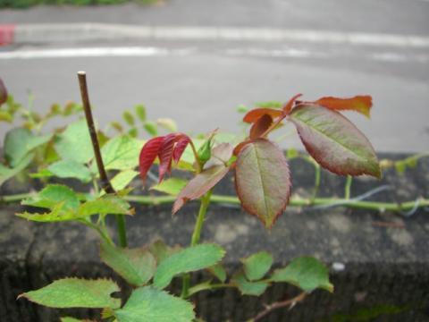 ピエール ド ロンサールの二番花の蕾