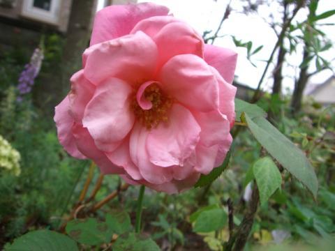 マガリの二番花