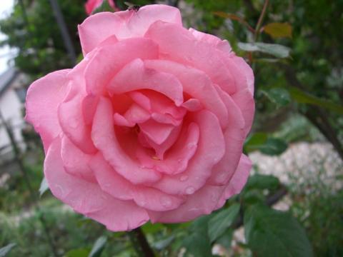 アロマテラピー二番花
