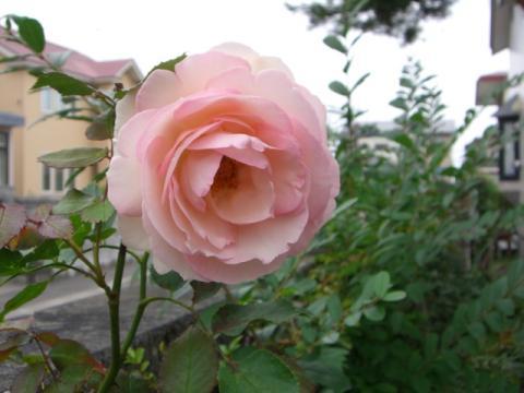 ピエール ド ロンサールの二番花