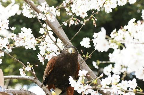 鷹とさくら1