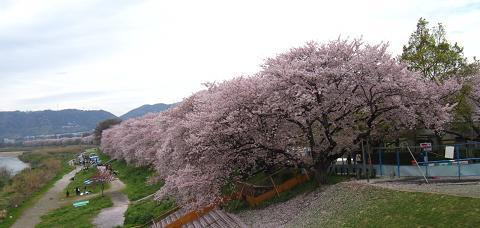 1.4kmの桜のトンネル