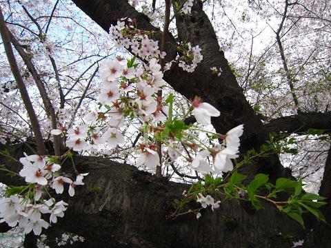 葉桜もオツ
