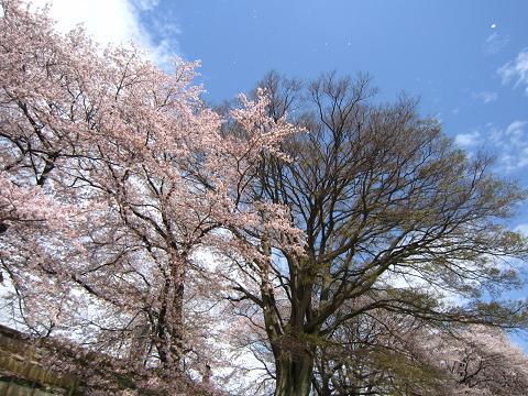 青空に桜舞い舞い