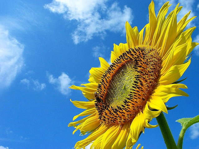 sunflower_004_3.jpg
