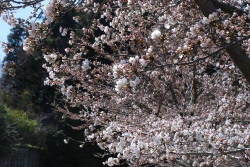 2012・04・08又衛門桜4