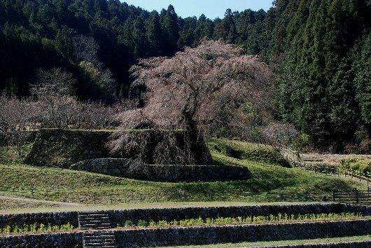 2012・04・08又衛門桜1