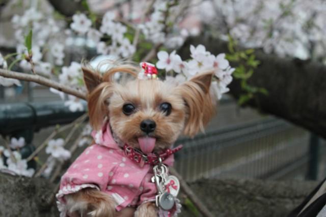 ノンたんと桜♪