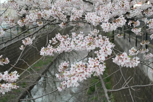 桜さん今年もキレイね