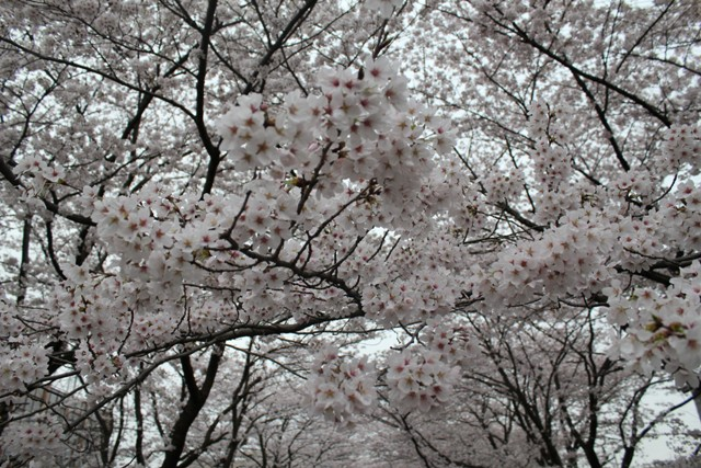 桜がこっち向いてるよ