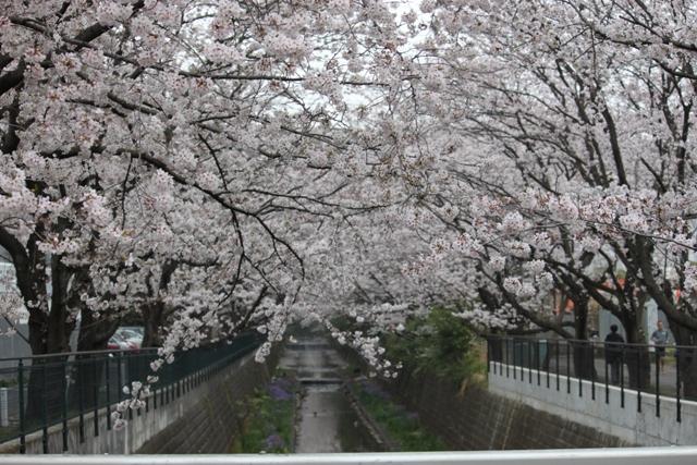 麻生川の桜2011