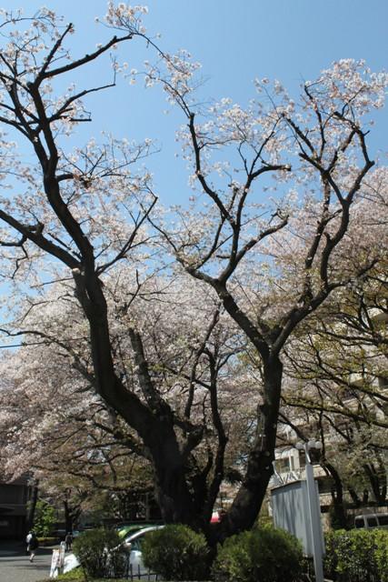 病院内の桜③