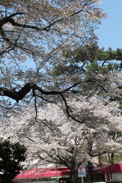病院内の桜②
