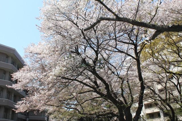 病院内の桜